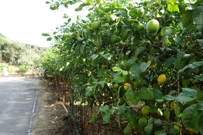 岩城島・レモンの散歩道