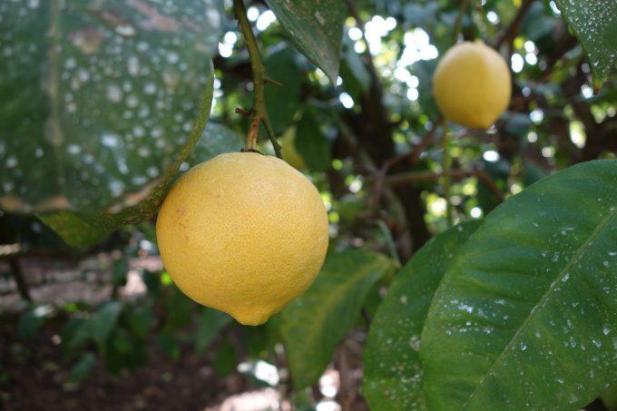 岩城島のレモン